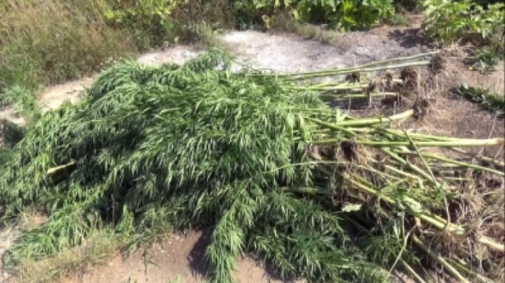 ВЯрославской области отыскали поле дикой конопли